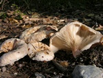 Bearded Milkcap (Lactarius pubescens)